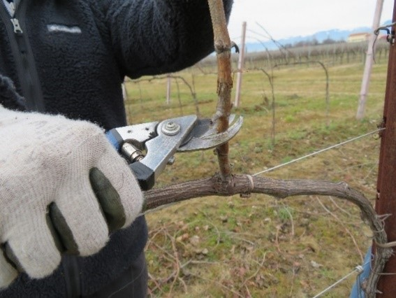 From good care for the vineyards a good wine is born: grapevine pruning at Terre di Ger's